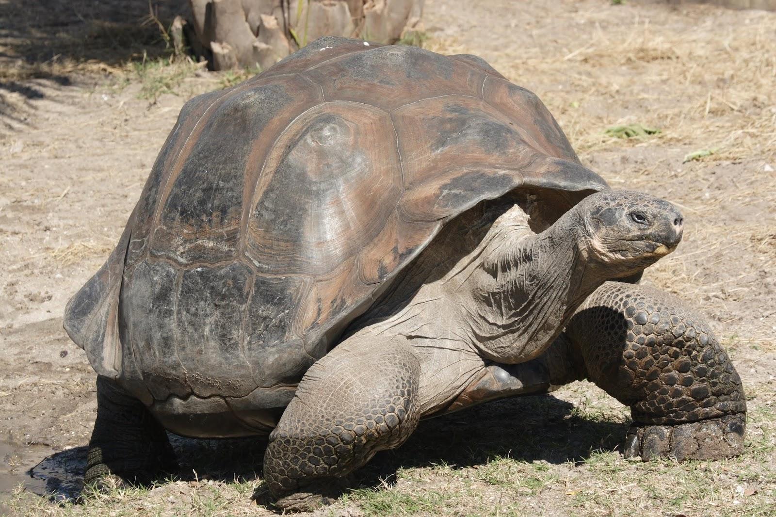 Jenis Kura - Kura Galapagos