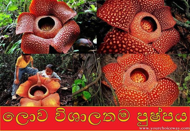 ලොව විශාලතම පුෂ්පය 🌻(The Largest Flower In The World)