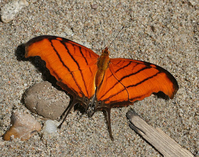 Mariposa daga naranja  (Marpesia petreus)