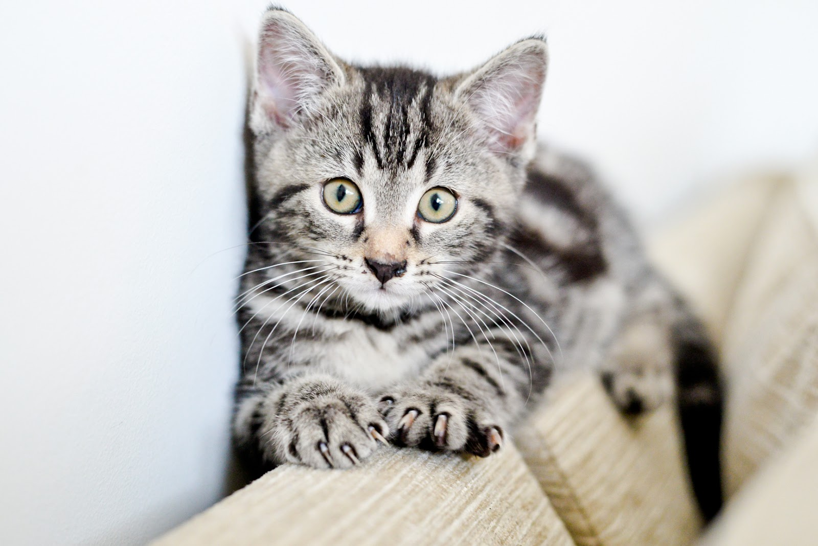 silver tabby male kitten