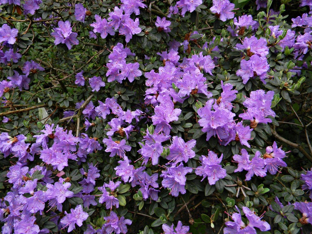 wiosna w kórnickim arboretum, krzewy, kwiaty