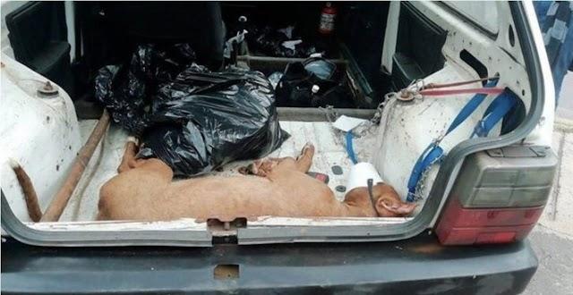 Anápolis: Pit bull morta e outro com graves sinais de maus-tratos são encontrados em residência após denúncia