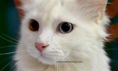 Van-Kedisi-Ozellikleri