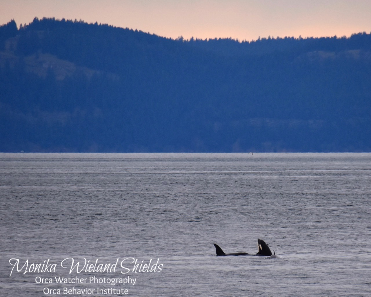 Orca watcher second on march 9th as they headed north past san juan county park altavistaventures Image collections