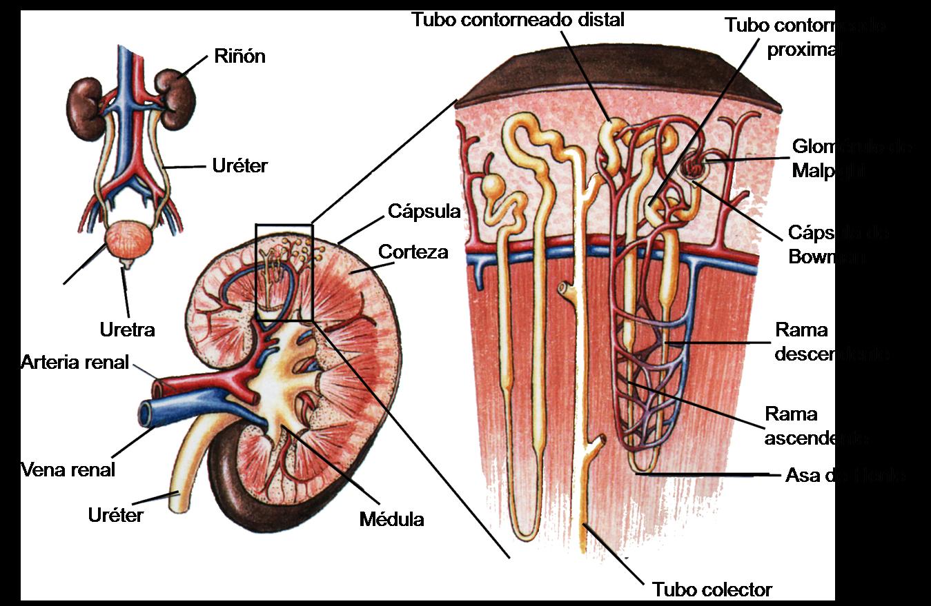 Famoso La Anatomía Renal Patrón - Imágenes de Anatomía Humana ...