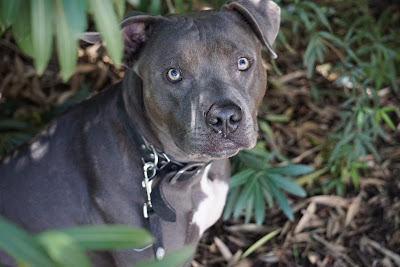Choosing The Right Dog Obedience Trainer For Your Pit Bull Terrier