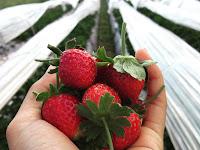 INI NIH!! Keuntungan Kebun Dengan Mulsa Plastik Untuk Budidaya Strawberry