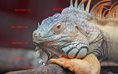 Cara Membeli dan Memilih Iguana Yang Bagus Dan Aman