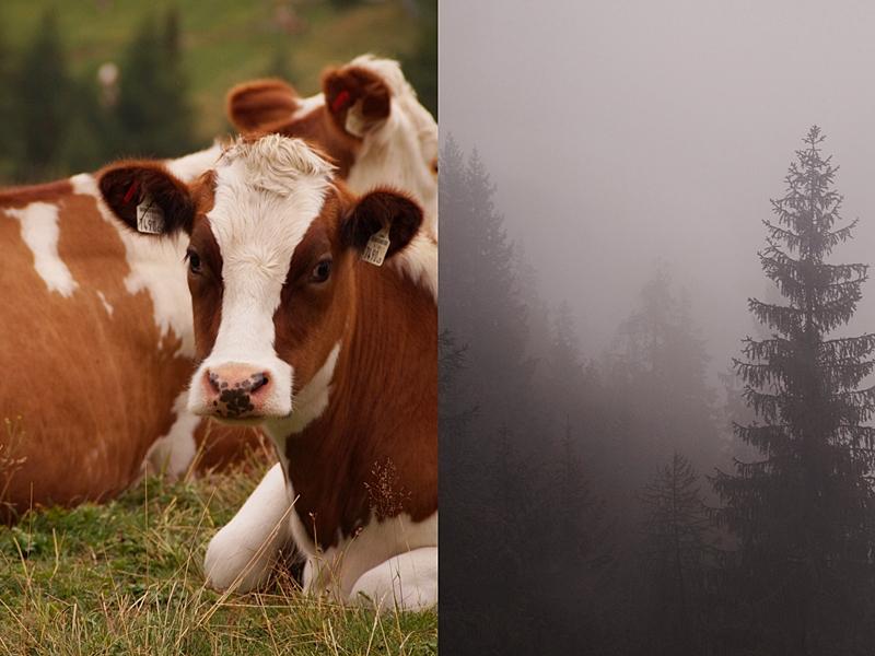 Urlaub im Lungau im Herbst: Wandern auf dem Speiereck bei Nebel, Wald und Kühe