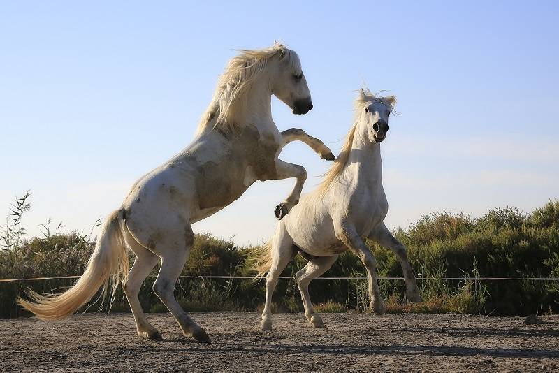 The Stallion: Management, Breeding and Reasons for Castration