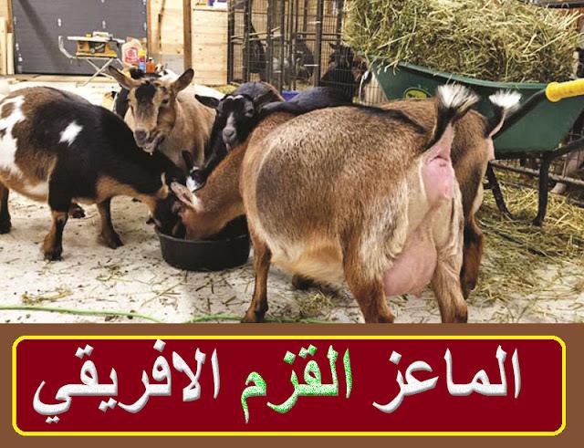 """""""أفضل أنواع الماعز القزم,"""" """"فضل انواع الماعز القزم"""" """"الماعز القزم البلجيكي"""" """"استيراد الماعز القزم,"""" """"الماعز القزم الامريكي"""" """"الماعز القزمي"""" """"الماعز القزم"""" """"الماعز القزم للبيع"""" """"الماعز القزم البلجيكي"""" """"الماعز القزم للبيع في الامارات"""" """"الماعز القزم الامريكي"""" """"الماعز القزم ويكيبيديا"""" """"الماعز القزم للبيع الكويت"""" """"الماعز القزم الكويت"""" """"الماعز القزم قطر"""" """"الماعز القزم النيجيري"""" """"الماعز الكلهاري"""" """"الماعز البرقى"""" """"ماعز الأنجلونوبيان"""" """"الماعز الاليفة"""" """"الماعز الصغير"""" """"الماعز للبيع"""" """"الماعز الانجلونوبيان"""" """"ماعز القزم للبيع"""" """"ماعز قزم للبيع"""" """"ماعز قزم للبيع بالرياض"""" """"ماعز قزم للبيع في الامارات"""" """"ماعز قزم للبيع الكويت"""" """"ماعز قزم للبيع قطر"""" """"ماعز زرايبى للبيع"""" """"ماعز وخرفان للبيع"""" """"ماعز زرايبى للبيع فى مصر"""""""