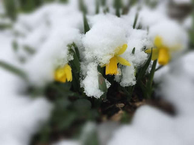 Narzissen im Schnee - im März