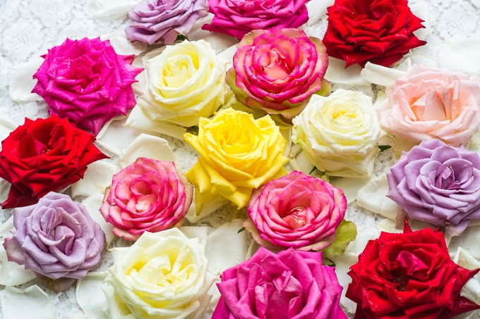Aneka Warna Bunga Mawar
