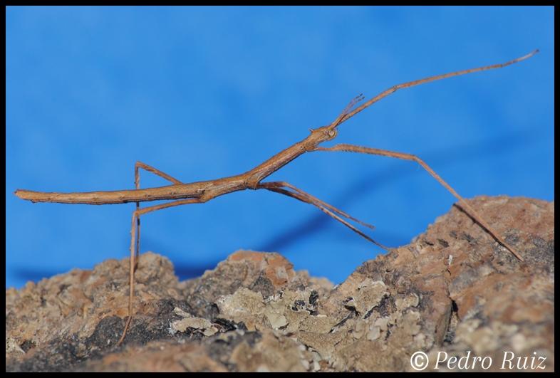 Ninfa macho L3 de Onchestus rentzi, 4,5 cm de longitud