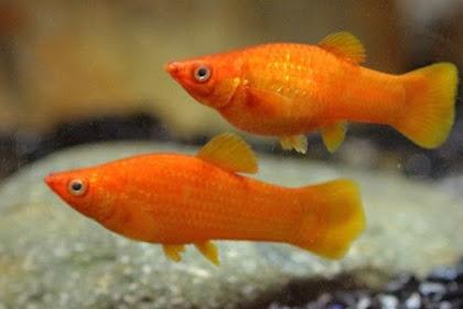 Cara Budidaya Ikan Molly [Panduan Lengkap untuk Pemula]