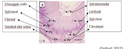 Histologi caput epididymis