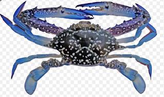 Rajungan (Portunus pelagicus)