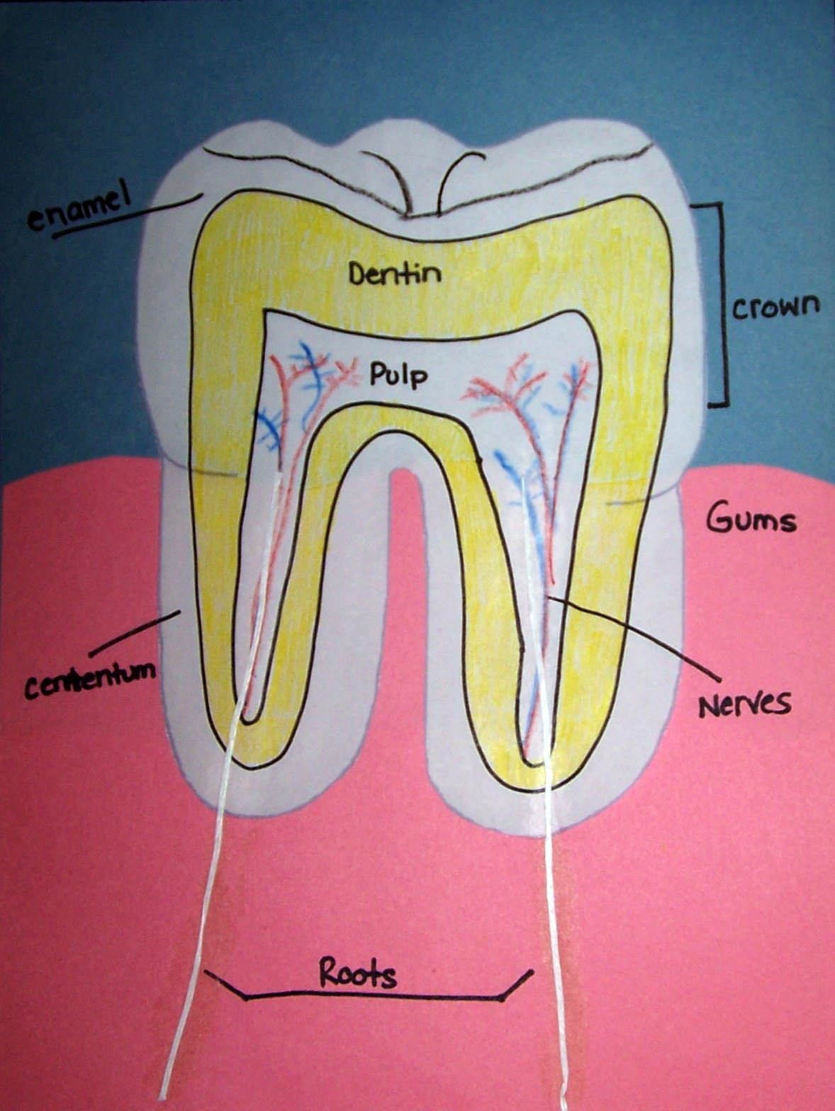 Tooth Layout Diagram Temperature Controller Wiring Primary Junction Open Wide Dental Health Unit
