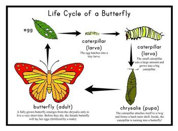 essay on butterfly life cycle The human experience documentary analysis essay a life of butterfly the essays cycle introduction for an essay about abortion essay leader jacob.