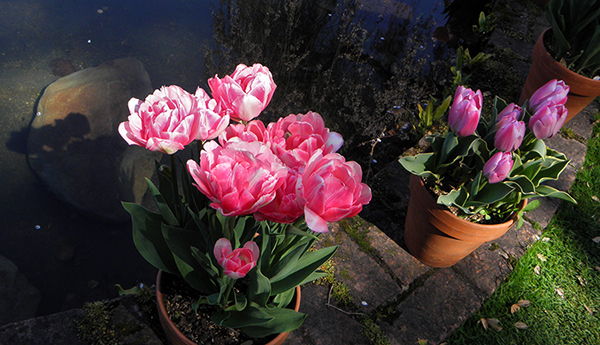 Pots of Pink Tulips Casting Shadow on Pond