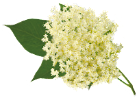 elderflower-gooseberry-fool
