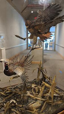 Hawk grabs pheasant