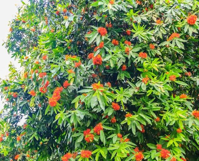 Ashoka Tree and Flowers