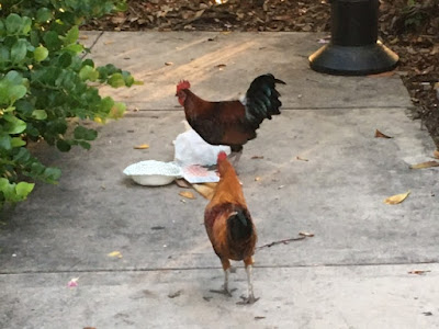 Roosters eating in Key West, Florida