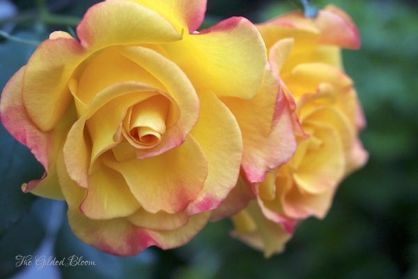 Yellow Roses - Early Summer Roses- www.gildedbloom.com