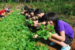 ミズナやコマツナなどを収穫・西城小学校