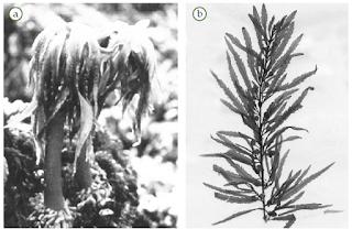 Contoh Phaeophyta (Alga Kecoklatan)