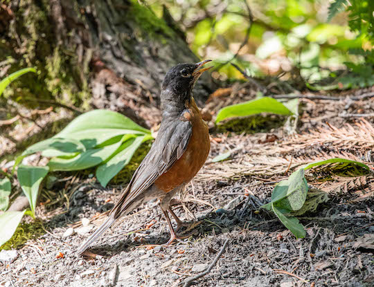 American robin at Glacier Campground