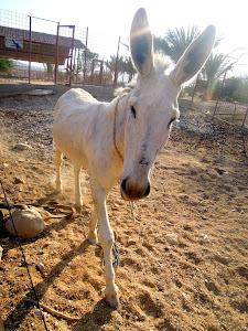 white donkey