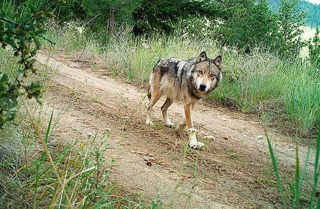 الذئب في الغابة