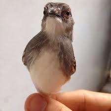 Burung Ciblek- Mineral dan Vitamin yang Sangat Penting Bagi Membantu Penangkaran Burung Ciblek Sukses