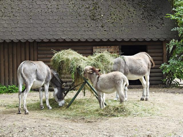 osły to zwierzęta domowe, dobrze czują się w Nowym Tomyślu