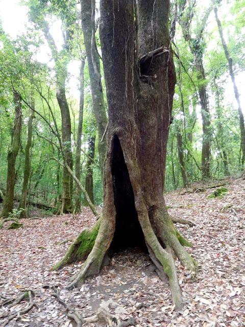 Inside Mawphlang Sacred Forest, Meghalaya
