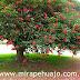 El ceibo: la flor nacional