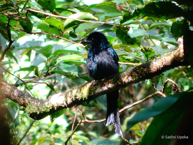Sri Lanka Crested Drongo in Sinharaja Rainforest