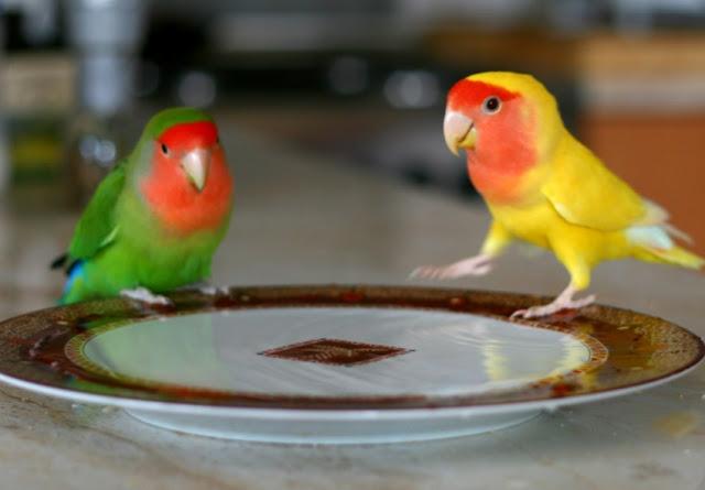 racikan pakan lovebird