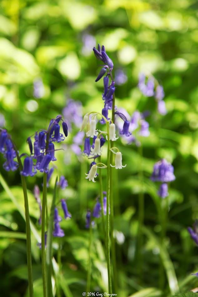 Jacinthe des bois, (Hyacinthoides non-scripta) (C) Greg Clouzeau