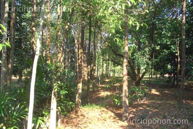 Ciri Ciri Pohon Gaharu