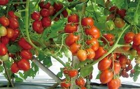 5 Cara Menanam Tomat Dalam Polybag Hasil Panen Melimpah