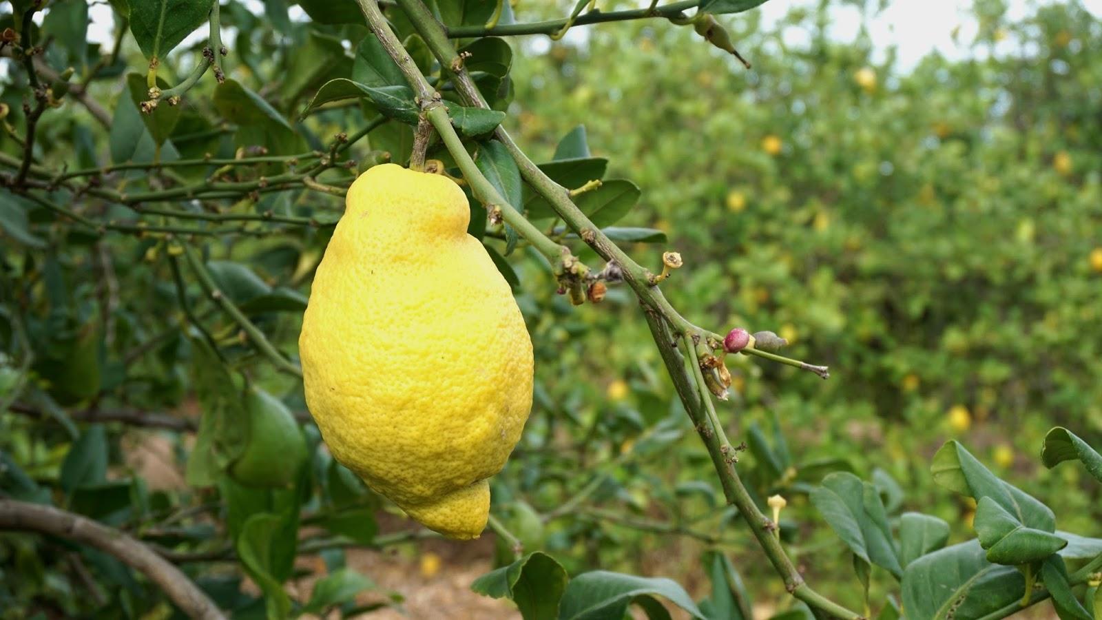 cytrynowy gaj Hiszpania, hiszpańskie cytryny, hiszpańskie owoce, atrakcje Hiszpanii, Torrevieja