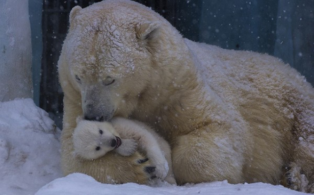 Polar Bear Tenderness