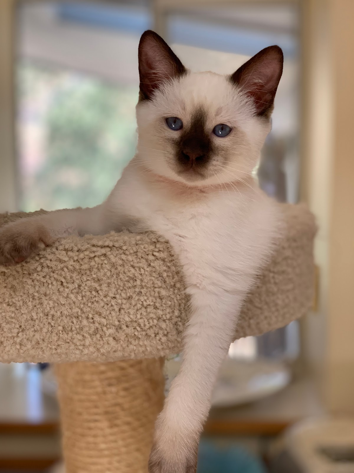 dating balinese cats for sale