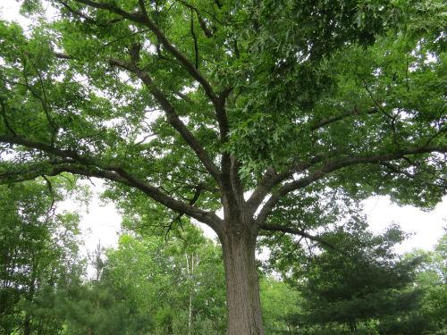 large black oak