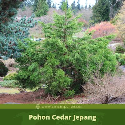 Ciri Ciri Pohon Cedar Jepang