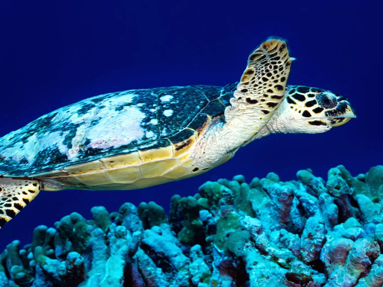 Turtle HD Wallpapers ~ HD WALLPAPERS
