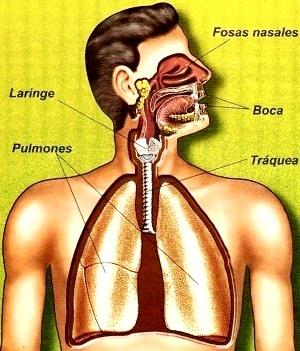 Dibujo del Sistema respiratorio para niños